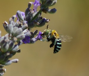 Blue Banded Bee (s)