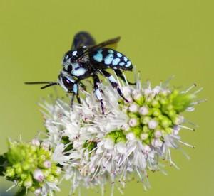 Neon Cuckoo Bee (s)