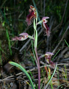 Calochilus robertsonii(s)